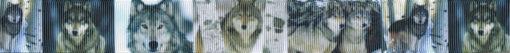 Ripsbandmotiv: Verschiedene Ansichten von Wölfen im Wald. Motiv in graugrün gehalten.